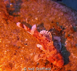 Scorpion Fish in Arguineguin Reef, Gran Canaria by Neil Scoffield