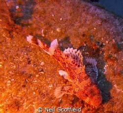 Scorpion Fish in Arguineguin Reef, Gran Canaria by Neil Scoffield