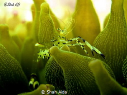Anemone Shrimp taken with Canon G16,Internal Flash under ... by Shah Aida