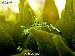 Anemone Shrimp taken with Canon G16,Internal Flash under ... by Shah Aida