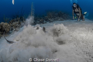"""""""I'm Out""""  A Stingray is disturbed from his nap just out... by Chase Darnell"""