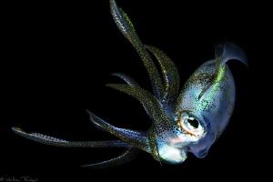 filipino squid #2 by Mathieu Foulquié