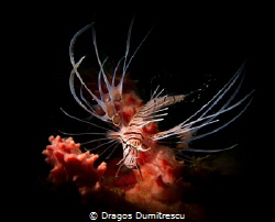 Juvenile Clearfin Lionfish dwelling in its little sponge ... by Dragos Dumitrescu
