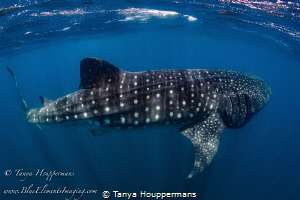 Seeing Spots A whale shark near Isla Mujeres, Mexico by Tanya Houppermans