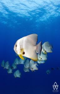 Batfish patrol above the Thistlegorm and always make for ... by Allen Walker