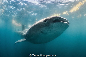 Titan A whale shark near Isla Mujeres, Mexico by Tanya Houppermans