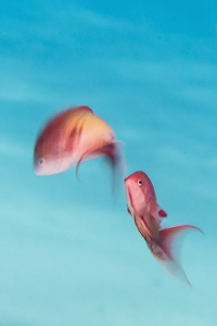 Red Sea male Anthias using slow speed shutter technique by Paul Colley
