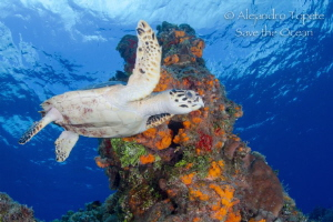 Turtle in the Reef, Cozumel México by Alejandro Topete