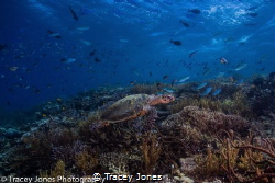 Turtle Swims over a coral reef in search of food by Tracey Jones