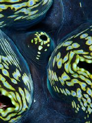 Abstract macro, Giant Clam. Taken with the D2x and 60mm m... by Luiz Rocha