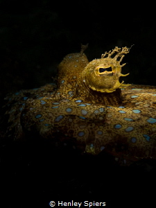 'Blue Spots & Eyelashes' Peacock Flounder (Bothus lunatu... by Henley Spiers