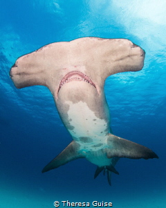 Smile for the camera / An unusual hammerhead with pigment... by Theresa Guise