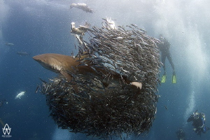 Dusky shark bursting through bait ball during the annual ... by Allen Walker