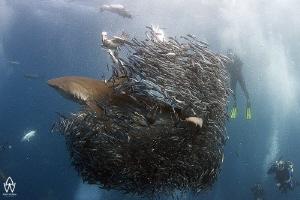 Dusky shark bursting through bait ball during the annual ... by Allen Walker