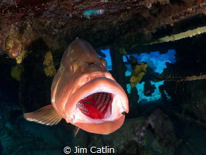 Close focus Nassau Grouper being cleaned inside the Oro V... by Jim Catlin