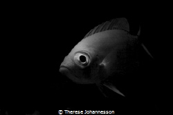 Bigeye at house reef Marsa Shagra, Egypt. by Therese Johannesson