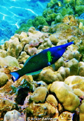 Wrasse, Hawaii by Alison Ranheim