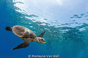 A curious juvenile hawksbill turtle by Marteyne Van Well