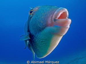 Gray Triggerfish by Abimael Márquez