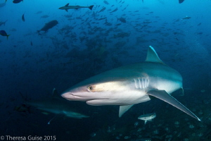 Silvertip sharks of Fiji / Fiji is home to a diverse shar... by Theresa Guise