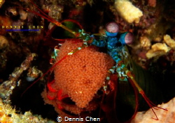 Mantis shrimp with eggs by Dennis Chen