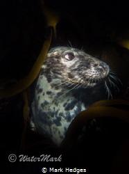 seal posing on lundy island u.k .. by Mark Hedges
