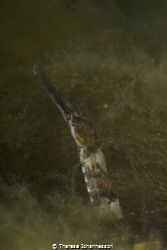 Greater pipefish Syngnathus acus under a jetty on the Swe... by Therese Johannesson