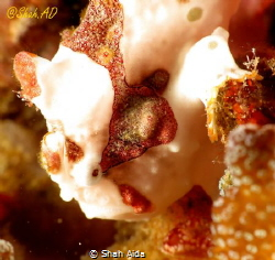 White frog fish close up,taken with Canon G16,Fantasea Ho... by Shah Aida