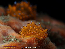 Janolus sp by Dennis Chen