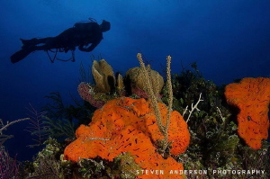 diver gets overhead view healthy reef system surround waters Bahamas. Bahamas