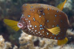 Yellow boxfish in 1m of water, just of the beach. 60mm. by Derek Haslam