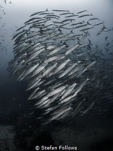 There's always a bigger fish ... ! Chevron Barracuda - Sp... by Stefan Follows