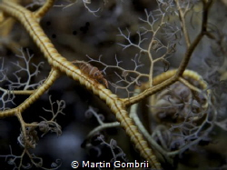 Cute crinoid Shrimp hiding in a feather star by Martin Gombrii