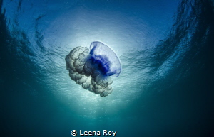 Jellyfish at surface by Leena Roy