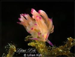 G R A C E  Flabellina exoptata by Lilian Koh