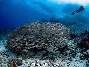 Beguiled ... Oxeye Scad - Selar boops. Sail Rock, Thailan... by Stefan Follows