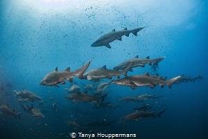 Schooling Sand Tigers Several dozen sand tiger sharks sc... by Tanya Houppermans