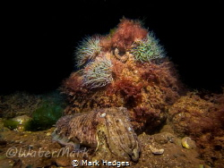 cuttlefish shot in limited visibility babbacombe u.k  by Mark Hedges