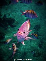 """Mick Jaggerfish"" by Alison Ranheim"
