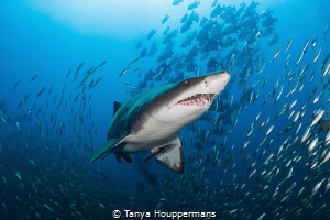 Taking Center Stage A sand tiger shark swims amongst sev... by Tanya Houppermans