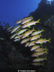 Shoal of goatfish. by Therese Johannesson