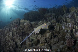 A Stingray swam by on the way back from the afternoon div... by Martin Gombrii