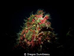 Frog fish hunting in the dark. Canon g12. Inon s2000 by Dragos Dumitrescu