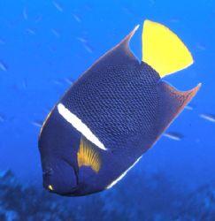 Emperor Angel Fish. by David Spiel