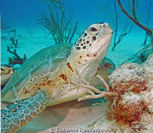 Green Turtles in Akumal , Quintana Roo by Susanna Randazzo