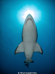 Piercing the Sun A sand tiger shark swims above the wrec... by Tanya Houppermans