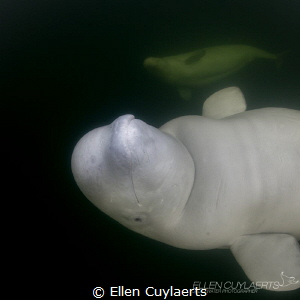 Photobombing beluga whale, does not happen every day! by Ellen Cuylaerts