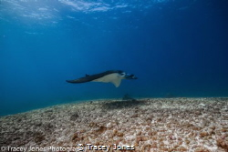 Manta ray glides over the bottom whilst feeding in the cu... by Tracey Jones