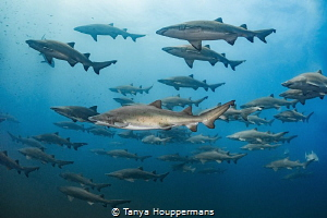 All In Formation No one really knows why the sand tiger ... by Tanya Houppermans