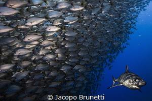 Hunting time!  Mako shark, Baja California Sur by Jacopo Brunetti